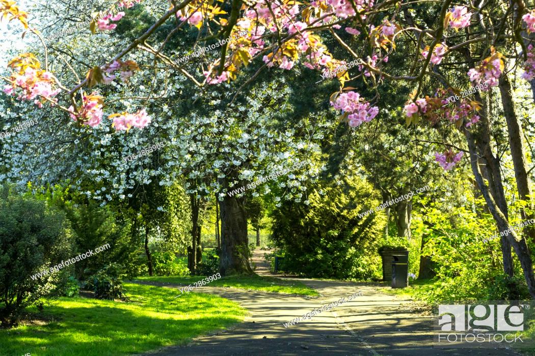 Stock Photo: West End Park, Airdrie, North Lanarkshire, Scotland, United Kingdom. Beautiful blooming trees in the early morning of May.