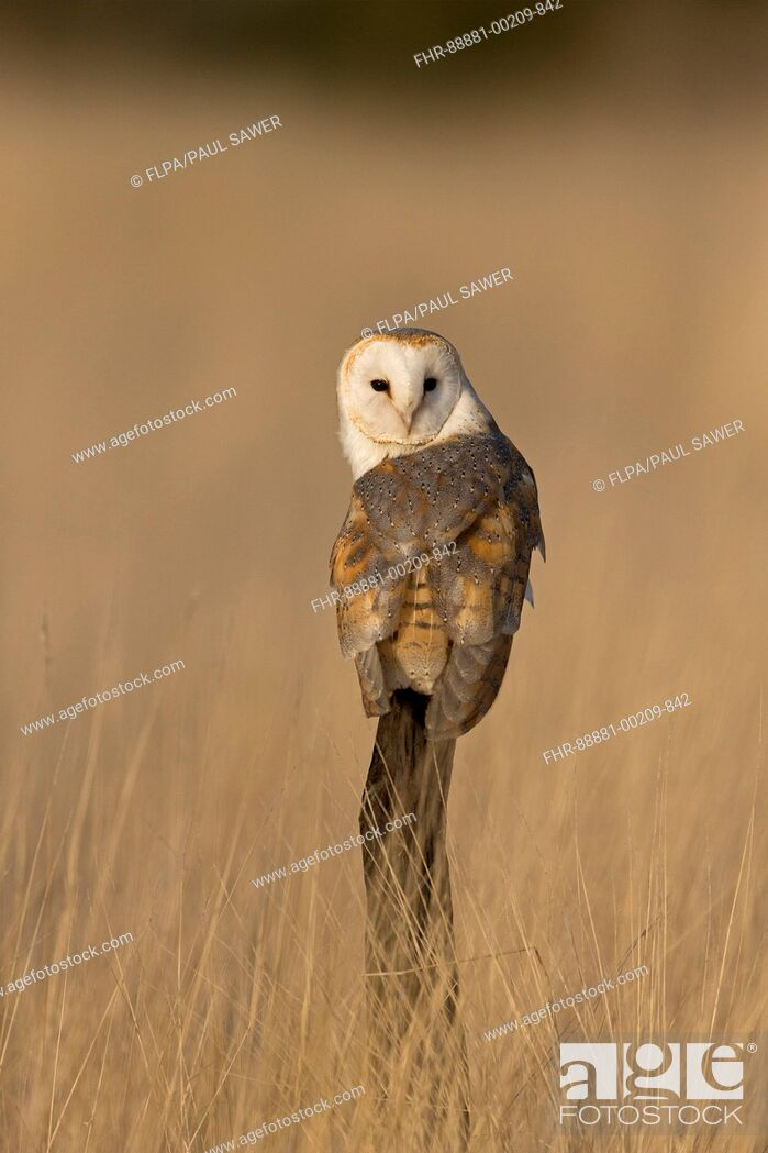 Stock Photo: Barn Owl (Tyto alba) adult, perched on post in grassland, Suffolk, England, November, controlled subject.