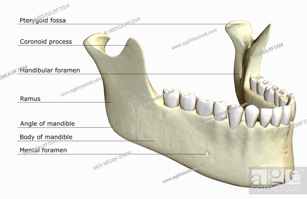 Stock Photo: The jaw bone.