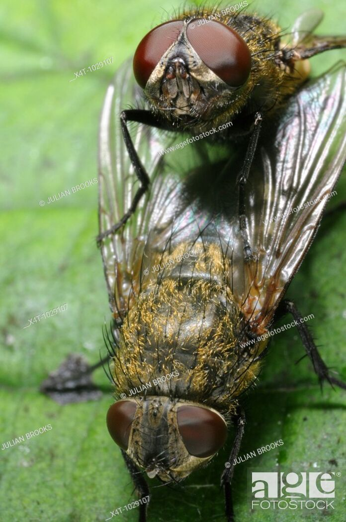 Stock Photo: Cluster flies mating showing the structure of their compound eyes.