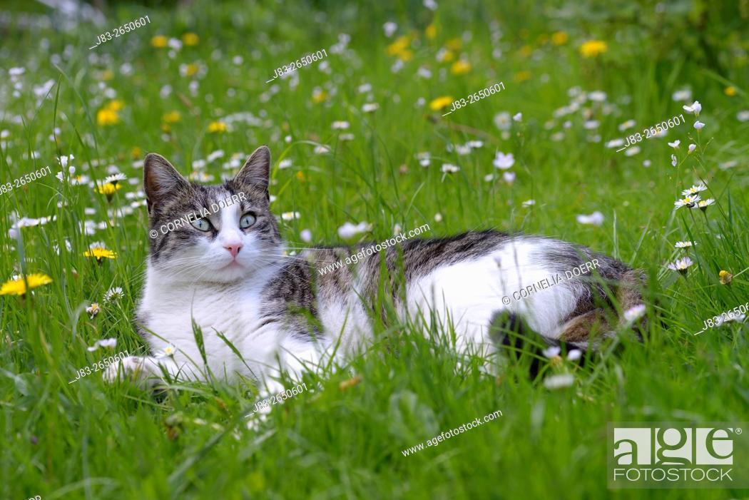 Stock Photo: Domestic cat in Garden in Spring.