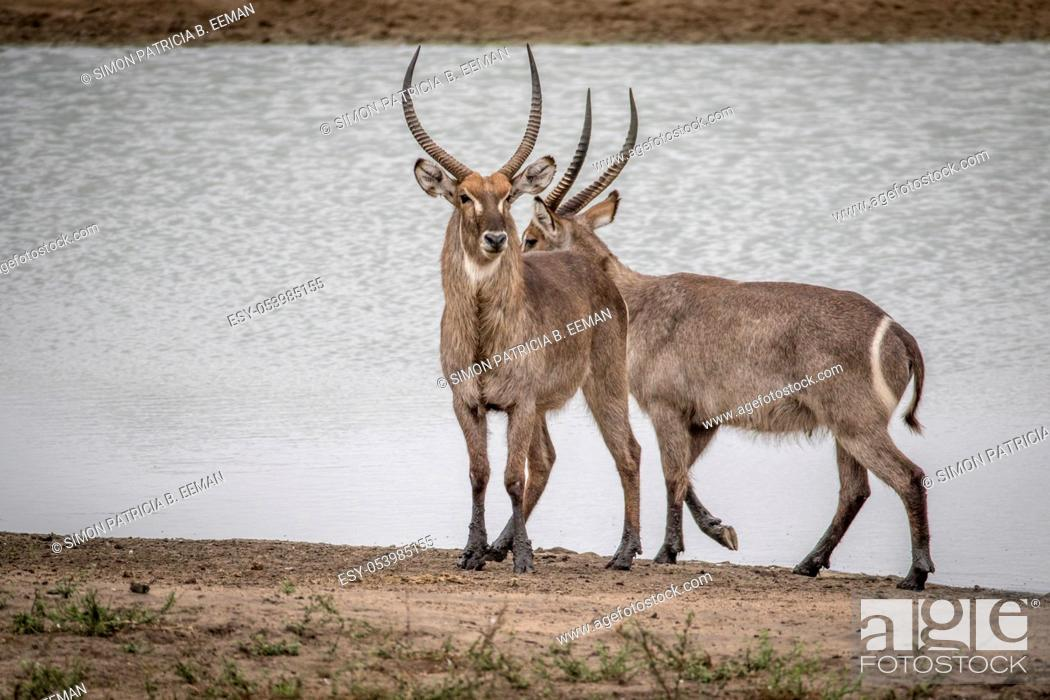 Stock Photo: Two Big male Waterbucks standing by the water in the Kruger National Park, South Africa.