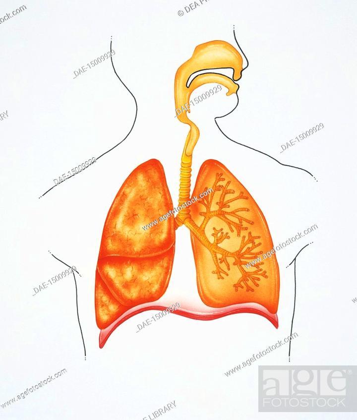 Medicine Human Anatomy Respiratory System Drawing Stock Photo