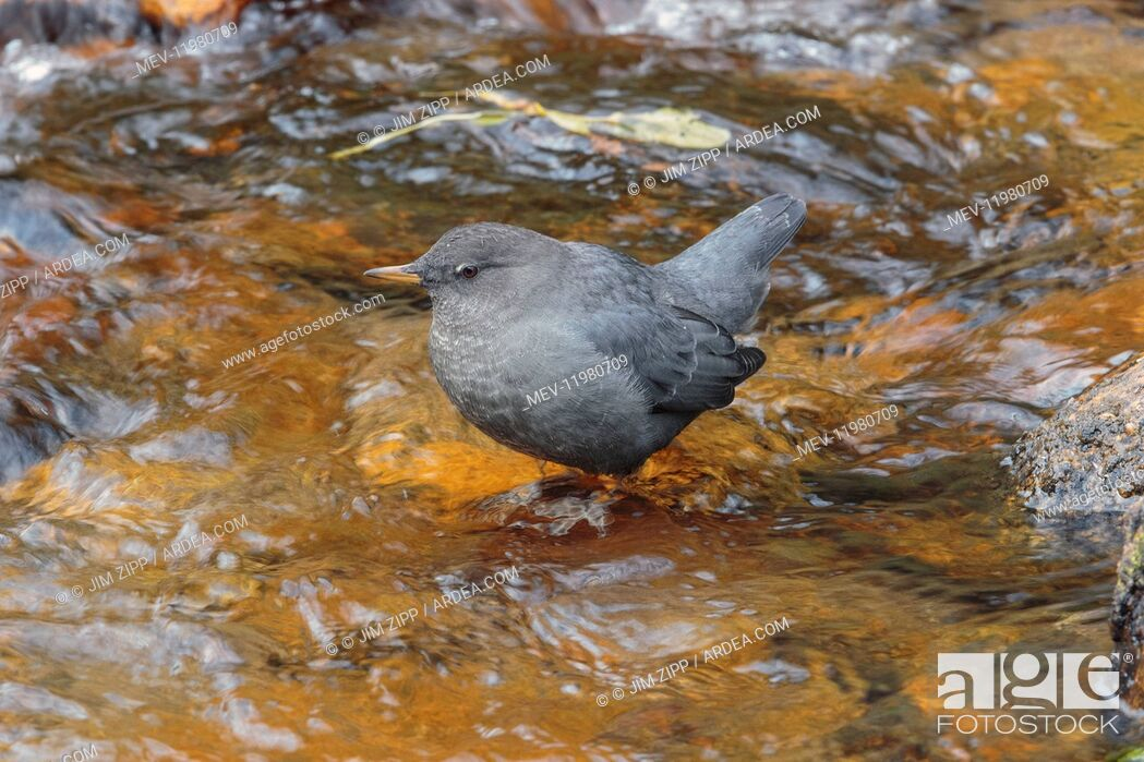 Stock Photo: American Dipper foraging.