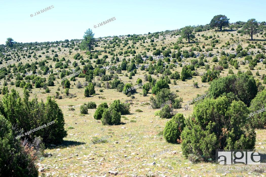 Imagen: Phoenicean juniper or arar (Juniperus phoenicea) is a shrub native to Mediterranean Basin, Canary Islands and Saudi Arabia Red Sea coast.