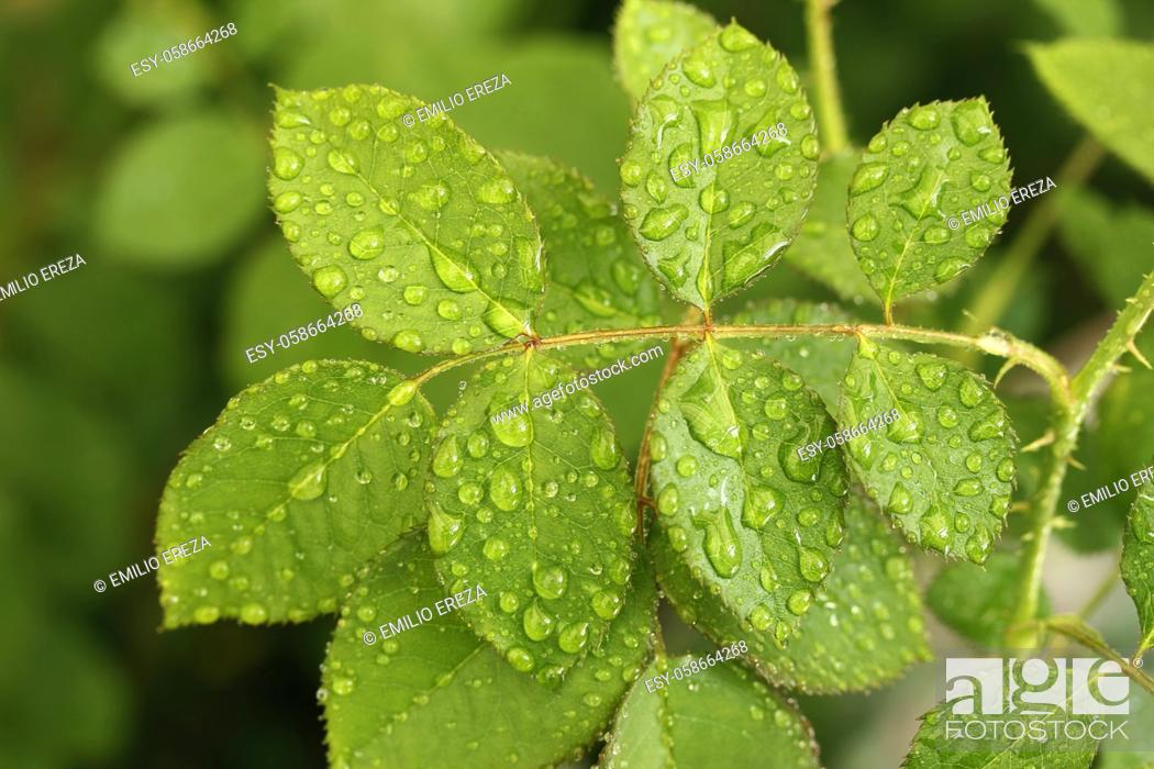 Stock Photo: Leaf of rose with droplets.