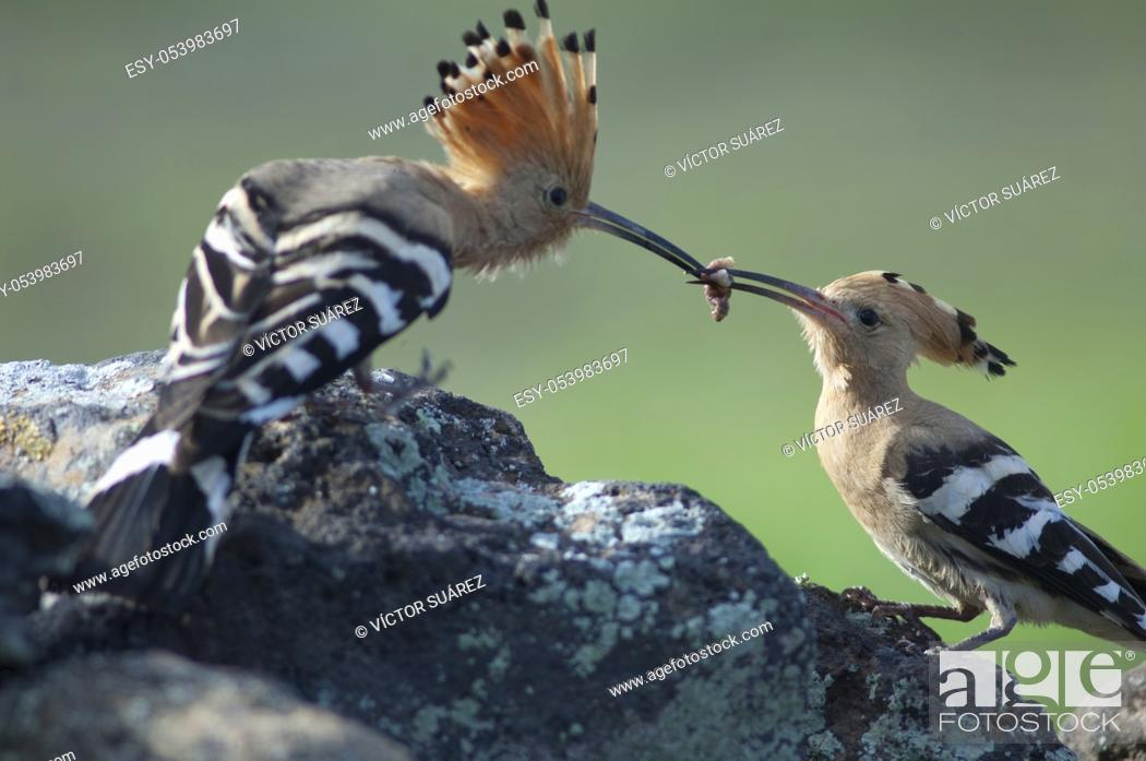 Stock Photo: Eurasian hoopoes (Upupa epops). Male giving food to the female. Uga. Yaiza. Lanzarote. Canary Islands. Spain.