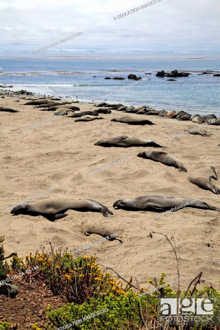 Stock Photo: Elephant Seals, Piedras Blancas, San Simeon, San Luis Obispo County, California.