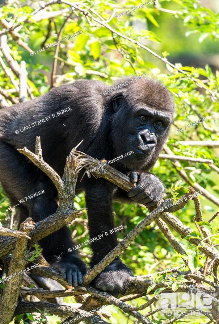 Stock Photo: Captive immature Western Lowland Gorilla (Gorilla gorilla gorilla) climbing tree, Bristol UK. August 2019.