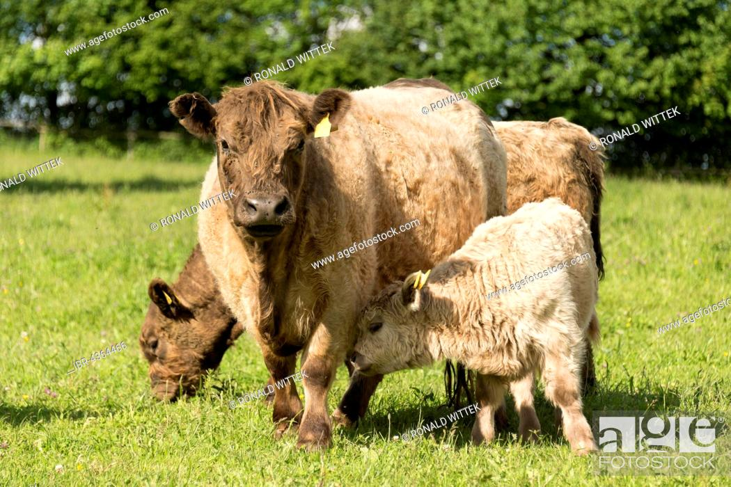 Stock Photo: Galloway cattle, Baden-Württemberg, Germany.