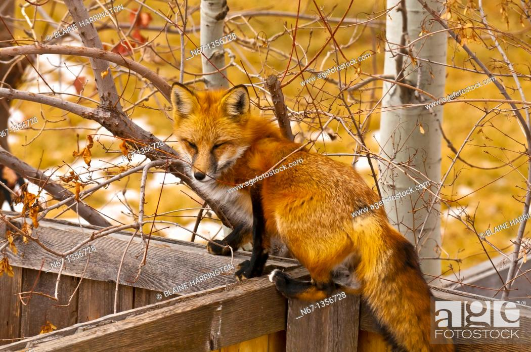 Stock Photo: Red fox, Littleton, Colorado USA.
