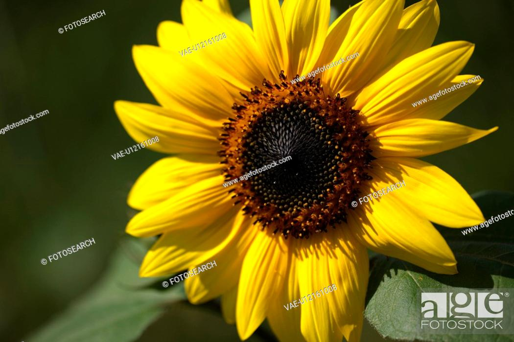 Stock Photo: close-up, alexandra, buss, brown, bloom, agriculture.