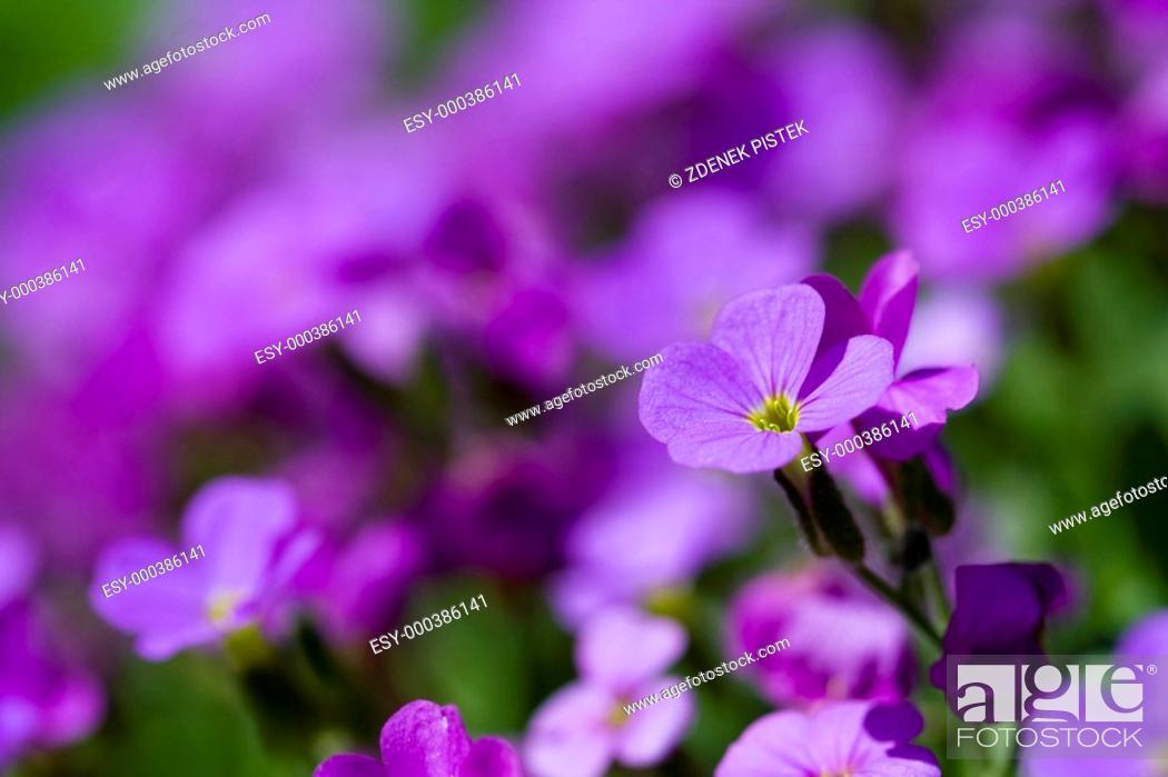 Stock Photo: Violet flower.