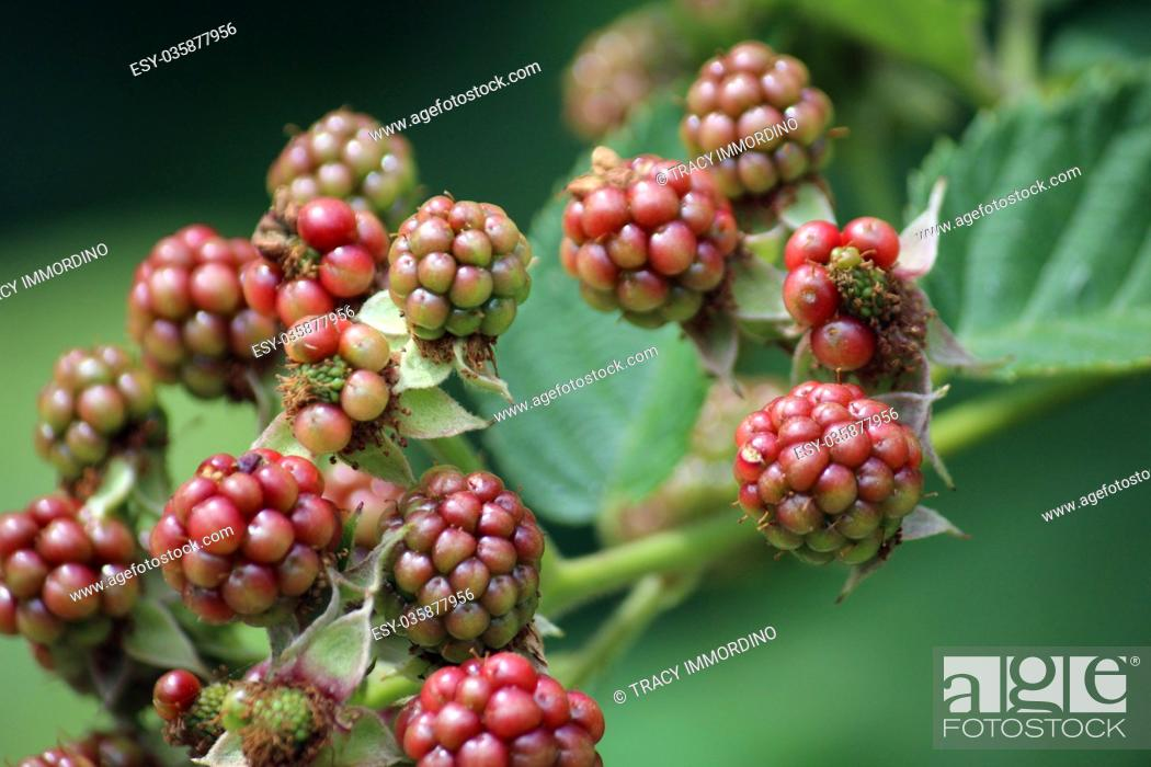 Stock Photo: Macro shot of blackberries beginning to ripen on a branch.
