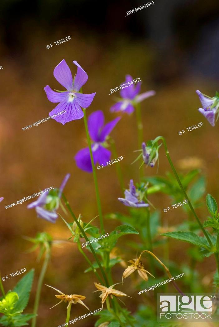 Stock Photo: horned pansy, horned violet (Viola cornuta), wild form.