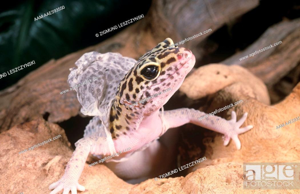 Leopard Gecko shedding Skin (Eublepharis macularius), Foto de Stock ...