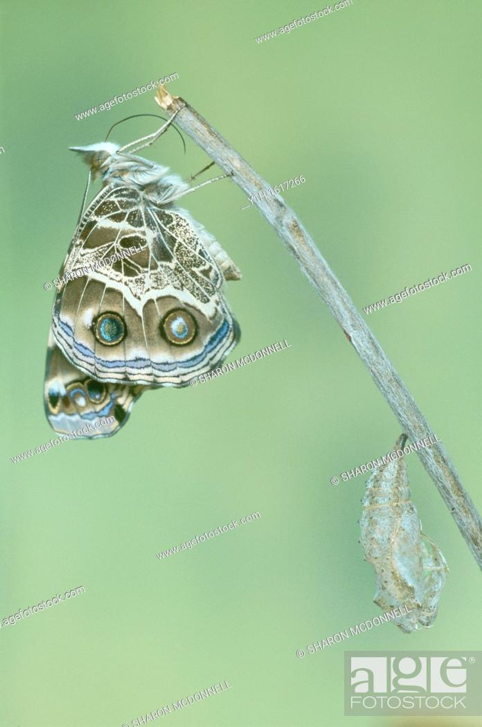 Stock Photo: American Painted Lady butterfly (Vanessa virginiensis) recovers and waits near chrysalis.