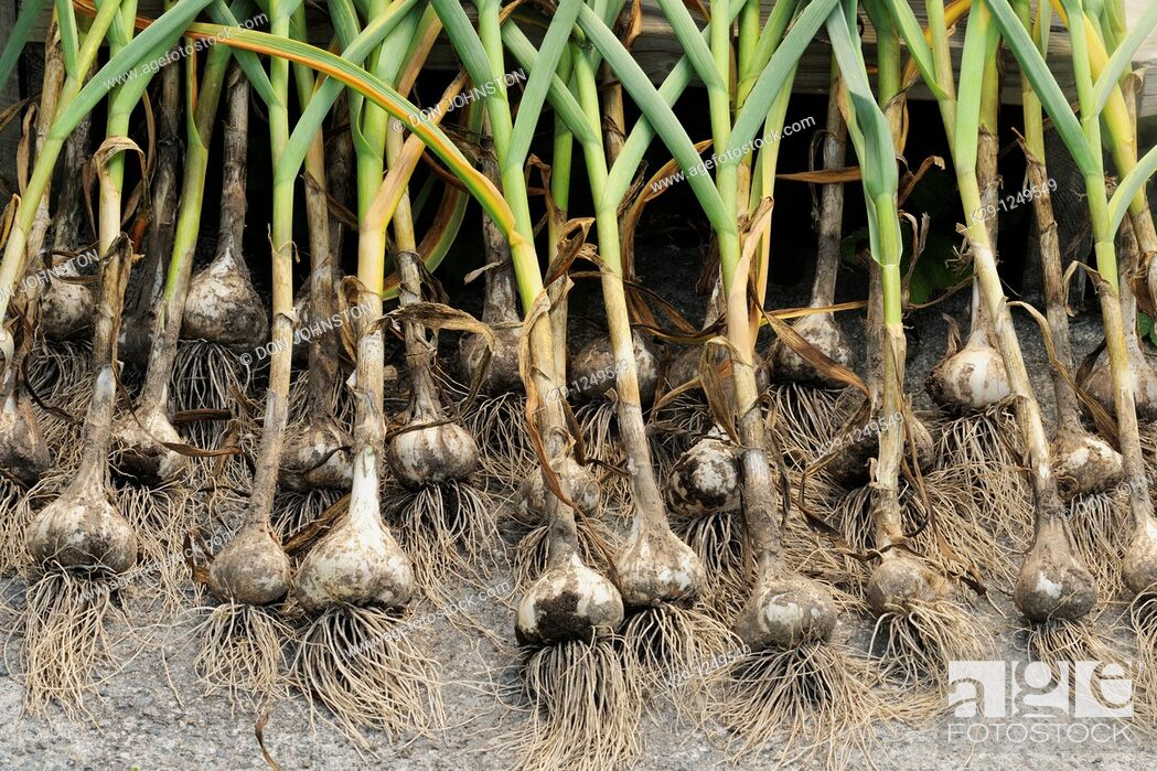 Stock Photo: Garlic bulbs, being arranged to dry after harvest.