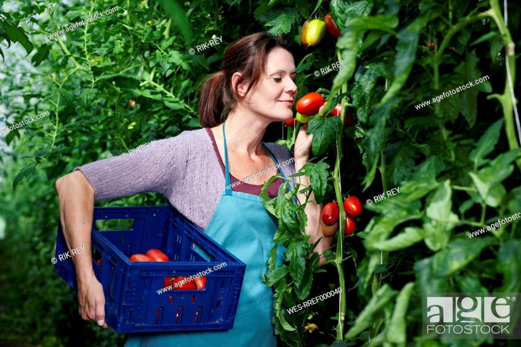 Stock Photo: Germany, Bavaria, Munich, Mature woman harvesting tomatoes in greenhouse.