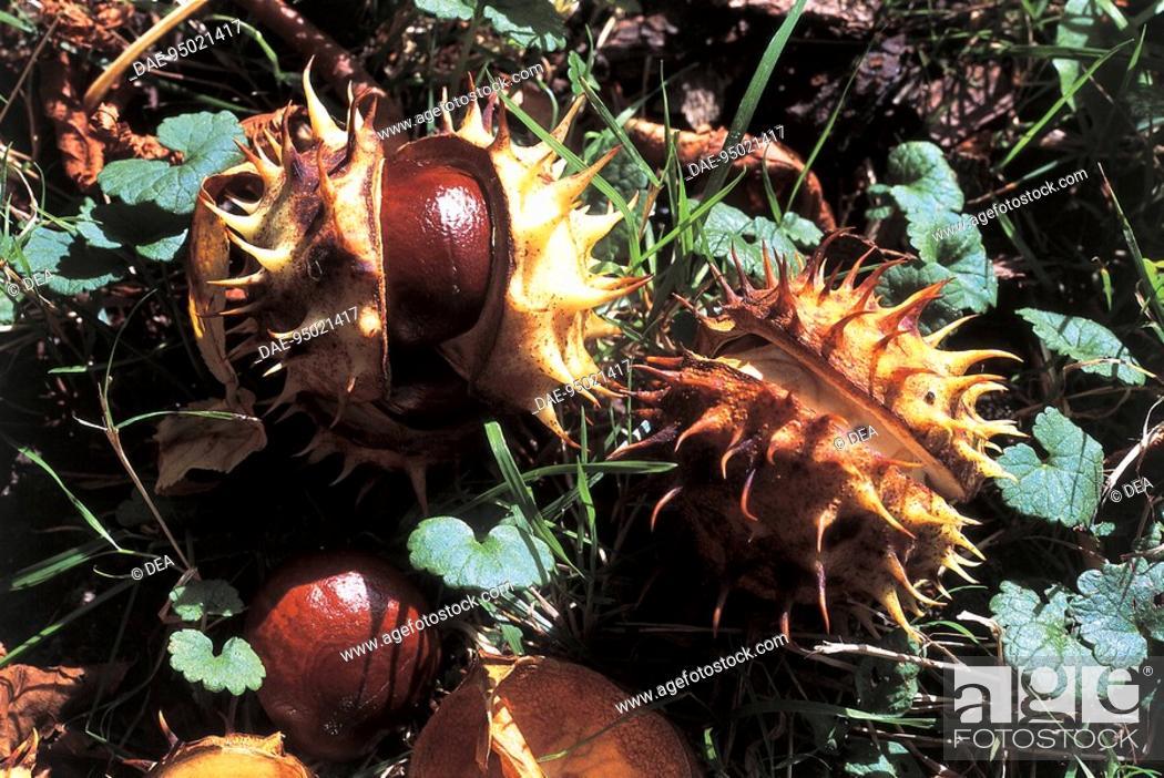 Stock Photo: Botany - Trees - Hippocastanaceae. Horse chestnut (Aesculus hippocastanum). Nuts.