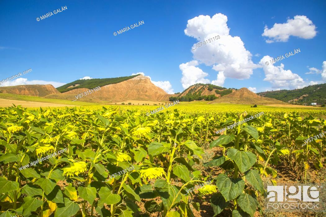 Imagen: Sunflowers and hills. Taracena, Guadalajara province, Castilla La Mancha, Spain.