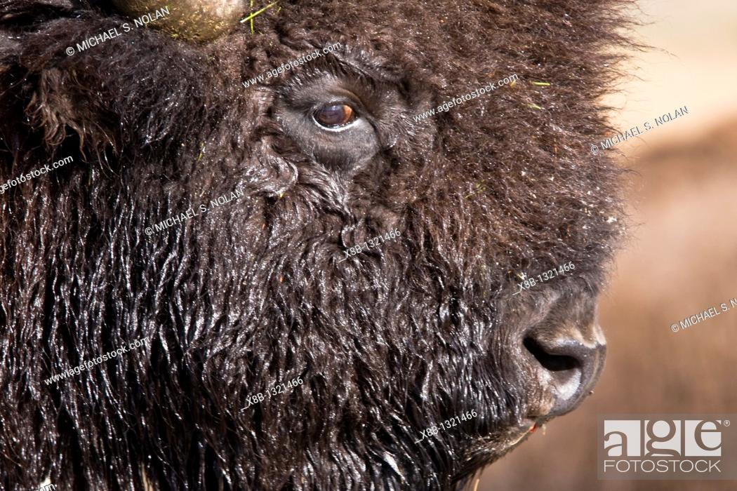 Stock Photo: Buffalo Bison bison herd crossing the Yellowstone River in Yellowstone National Park, Wyoming, USA.