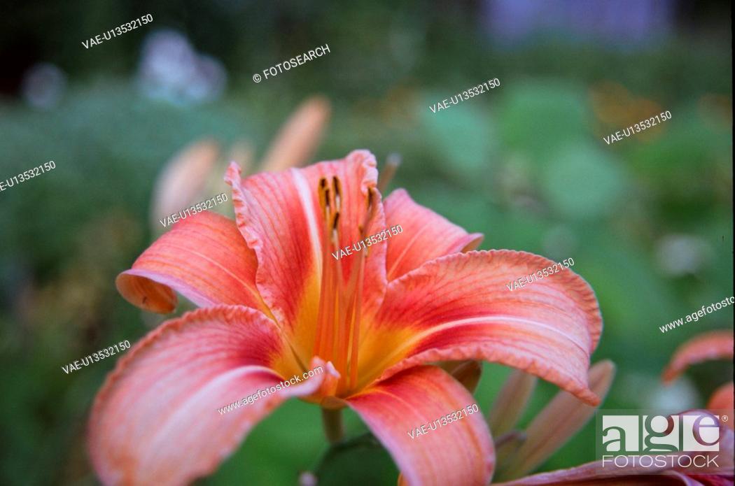 Stock Photo: flower, plant, nature, botany, lily.