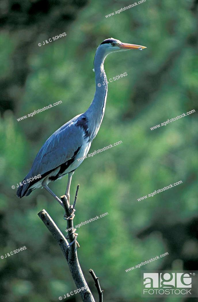 Stock Photo: Grey Heron Ardea cinerea Germany Europe.