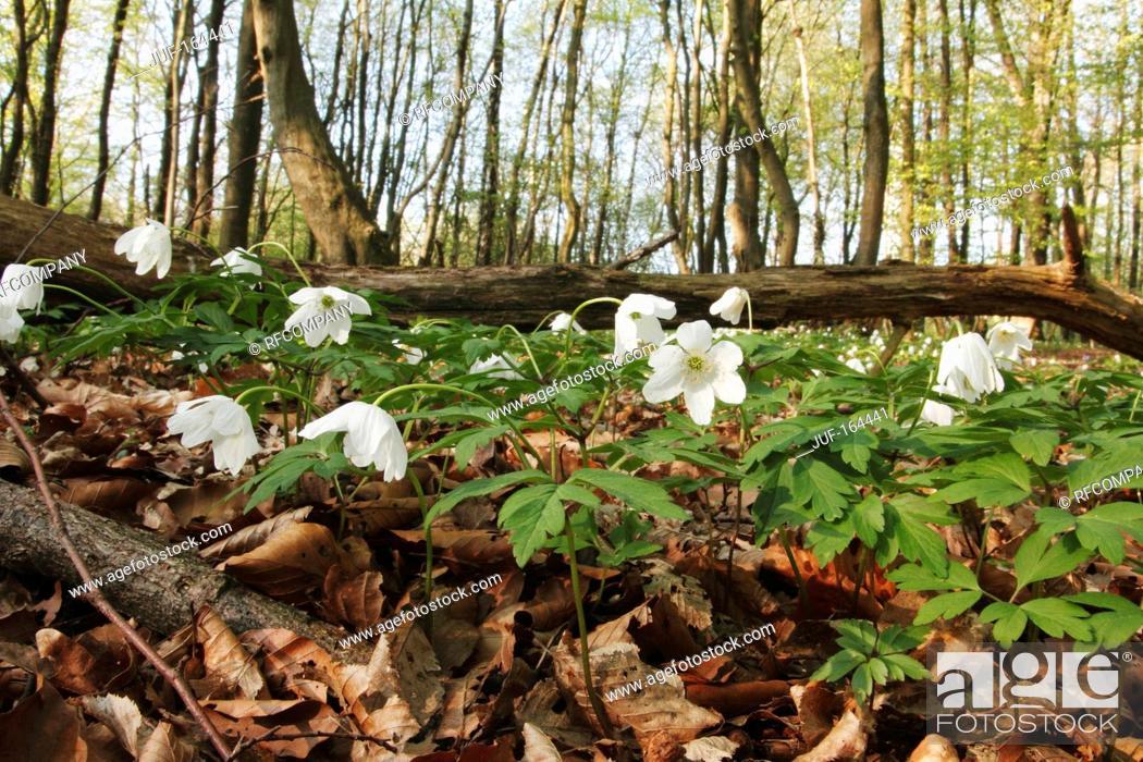 Imagen: wood anemone / Anemone nemorosa.