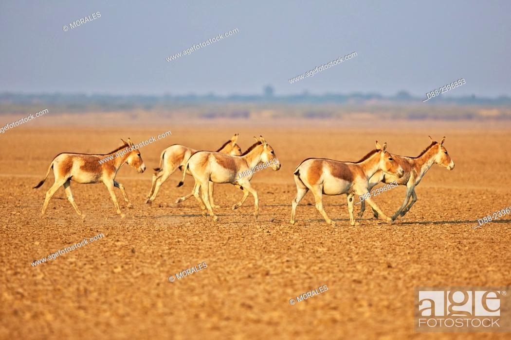 Stock Photo: India, Gujarat, Little Rann of Kutch, Wild Ass Sanctuary, Indian wild asses (Equus hemionus khur) , Khur.