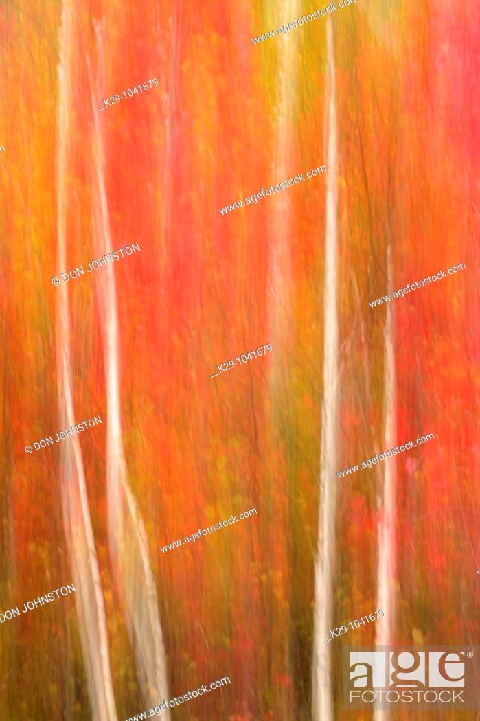 Stock Photo: Birch tree trunks and maple trees in autumn camera movement.