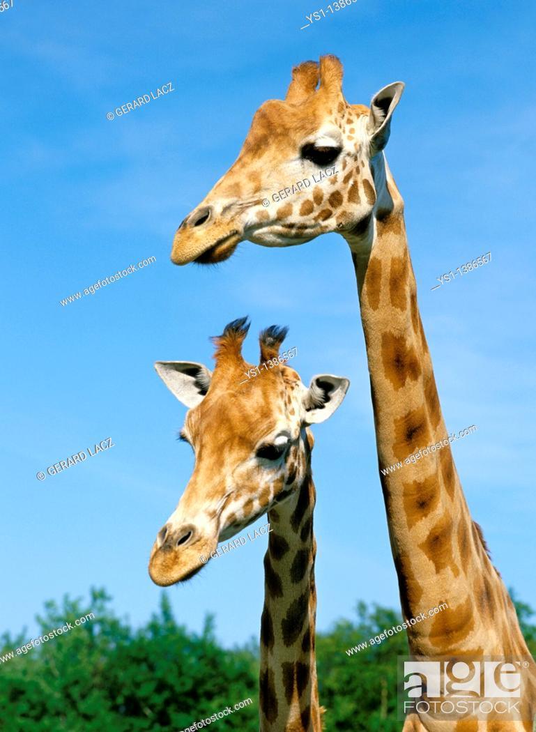 Stock Photo: Rothschild's Giraffe, giraffa camelopardalis rothschildi, Portrait of Adults.