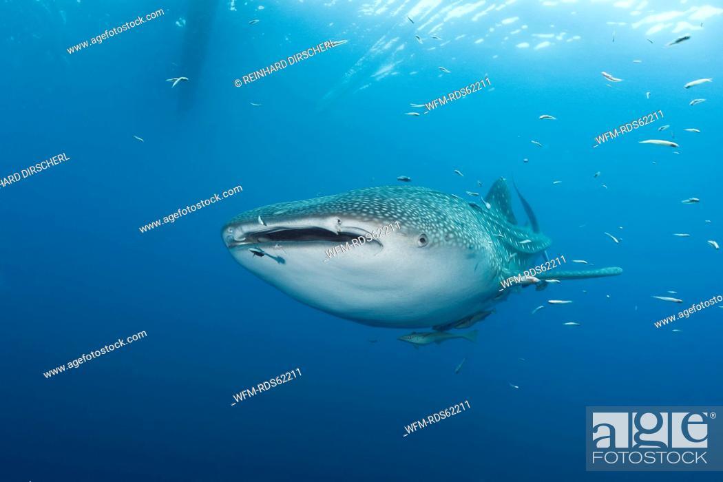 Stock Photo: Whale Shark, Rhincodon typus, Cenderawasih Bay, West Papua, Indonesia.