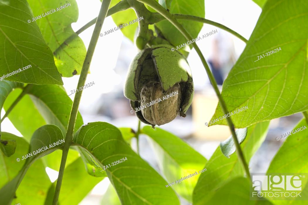 Stock Photo: Ripe fruits arise from nutshell on tree. Closeup.