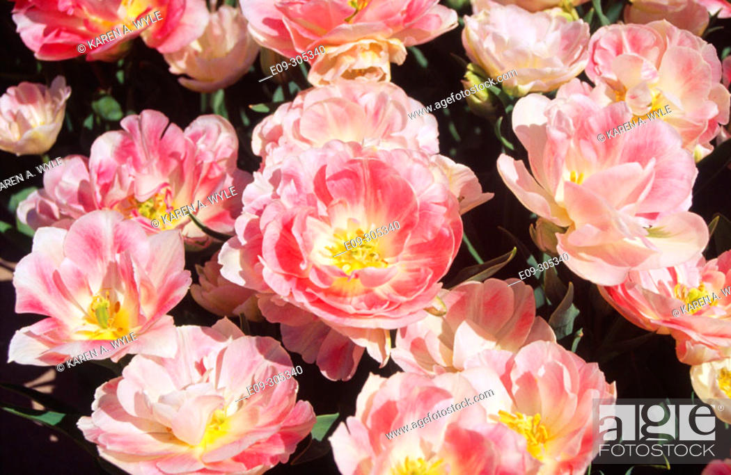 Stock Photo: Angelique Peony Tulips. White River Gardens. Indianapolis. Indiana. USA.