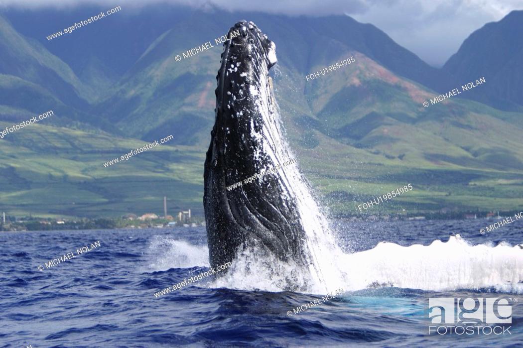 Stock Photo: Humpback Whale Megaptera novaeangliae Auau Channel, Maui, Hawaii, North America.