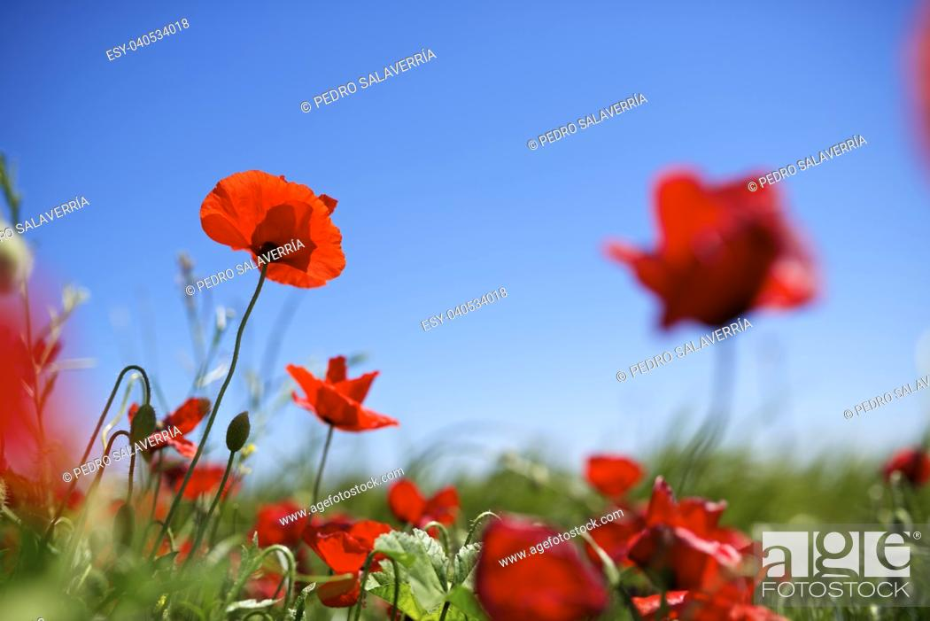 Photo de stock: Close up of a poppy in a meadow of grass.