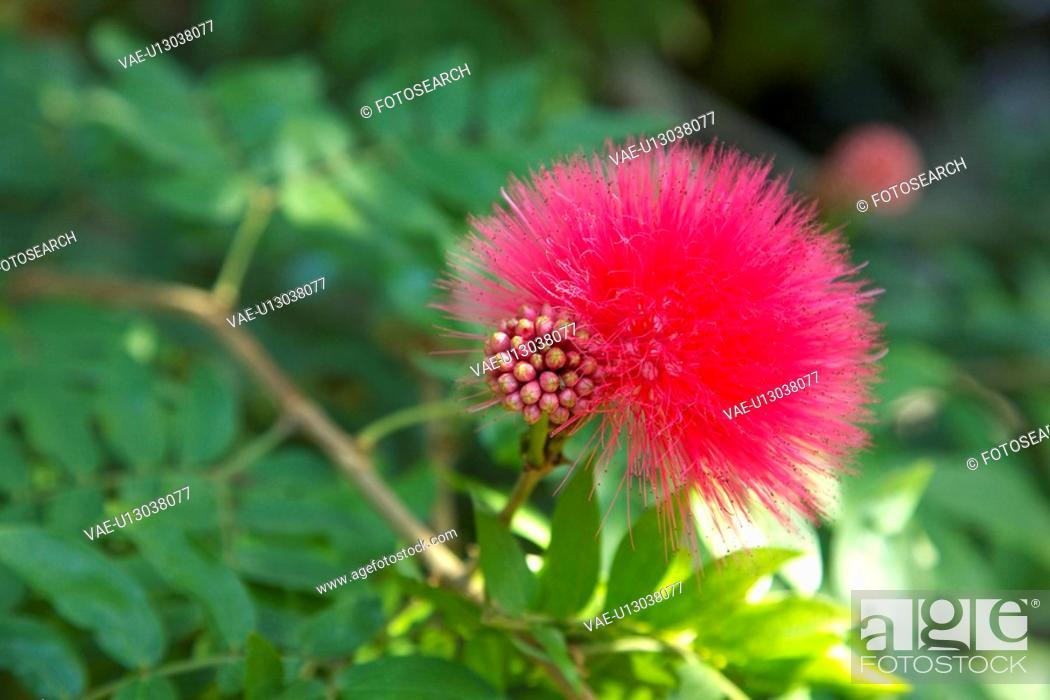 Stock Photo: Calliandra haematocephala.