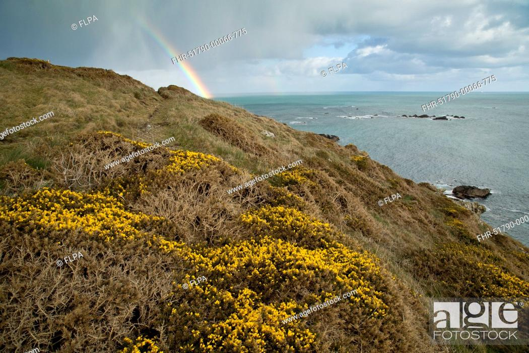 Stock Photo: Common Gorse (Ulex europaeus) flowering, growing on clifftop habitat, with rainbow and rainclouds in background, Lizard Point, Lizard Peninsula, Cornwall.