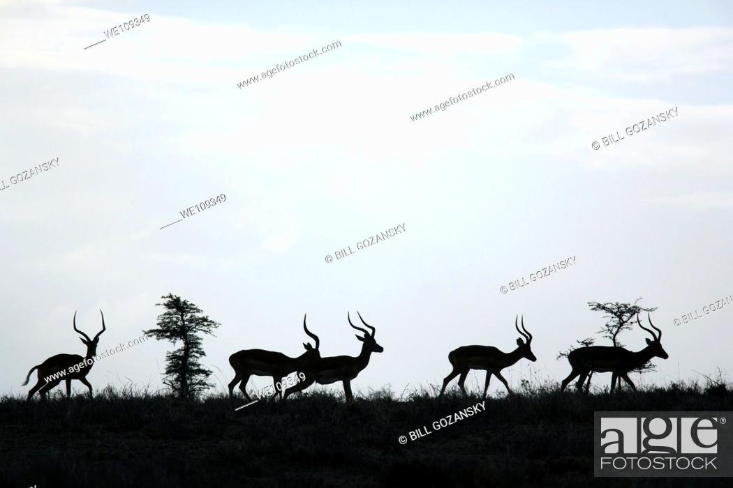 Stock Photo: Group of Impala - El Karama Ranch, Laikipia Region, Kenya.