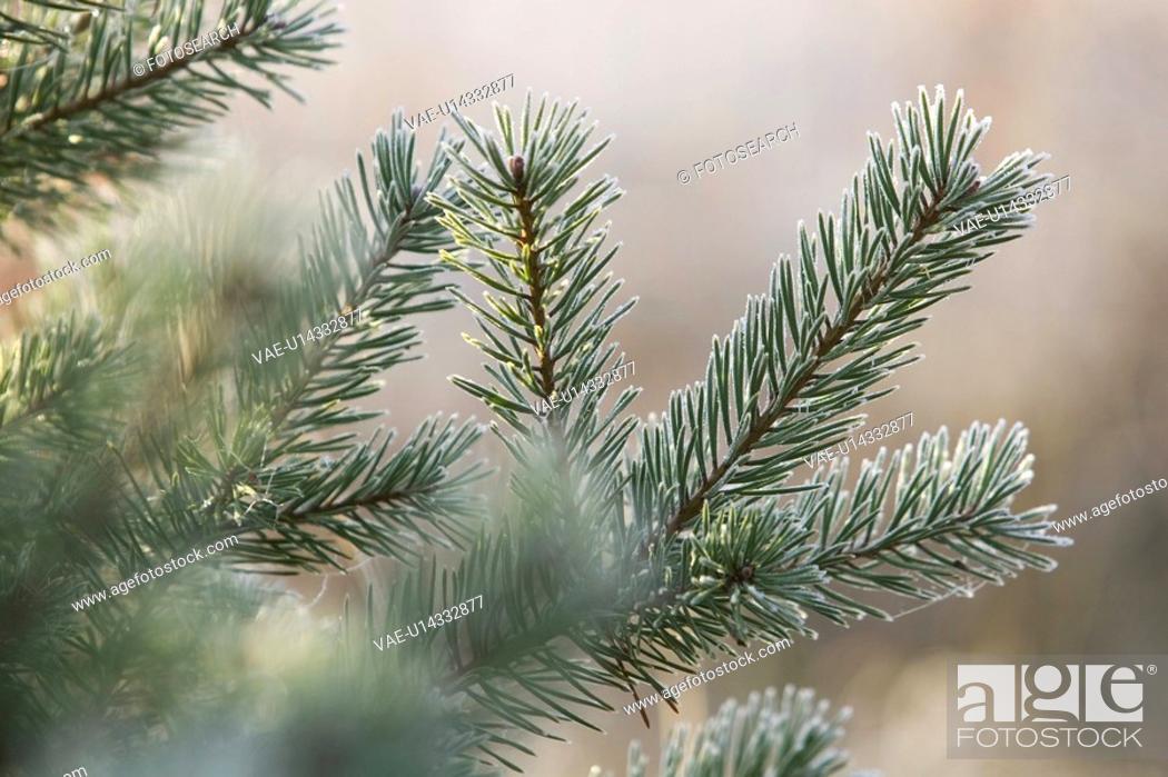 Stock Photo: Branch, Close-Up, Coniferous Tree, Day, Evergreen Tree.