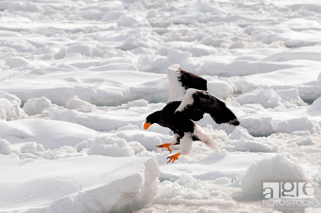 Stock Photo: Steller's sea eagle, Haliaeetus pelagicus, (Pygargue de Steller) Russia, 2017.