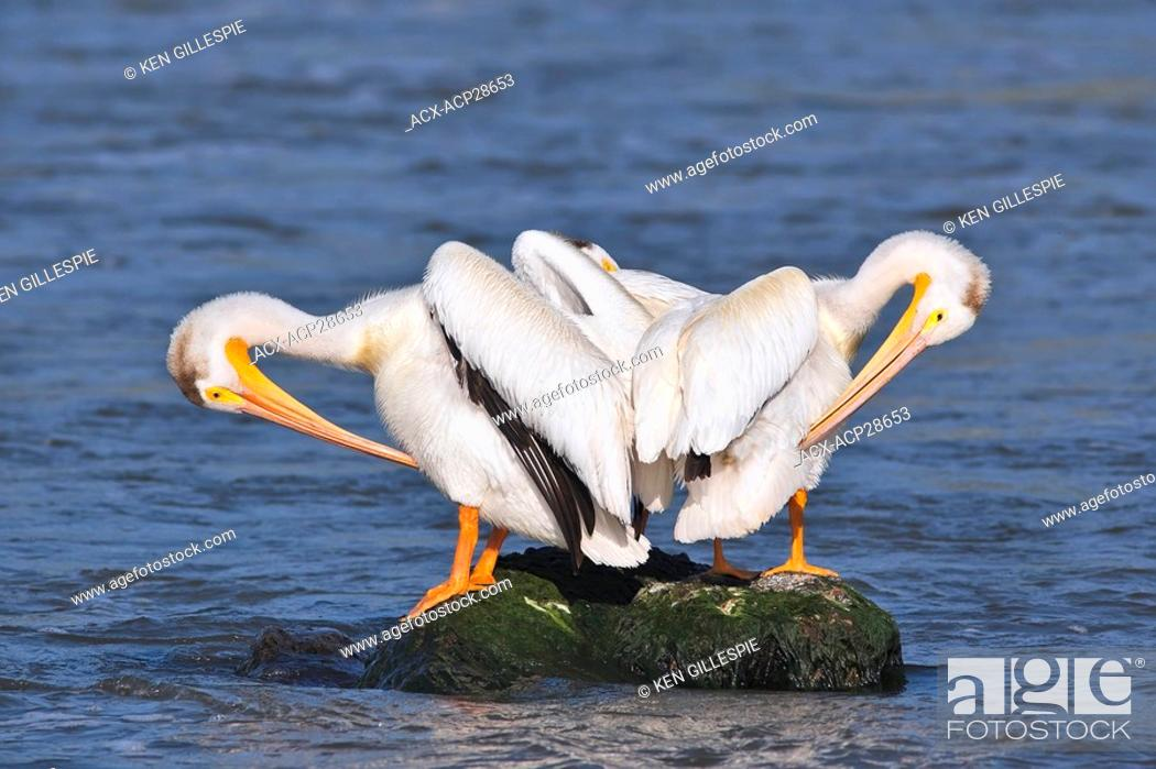 Stock Photo: American White Pelicans preening on a rock. Red River, Lockport, Manitoba, Canada.