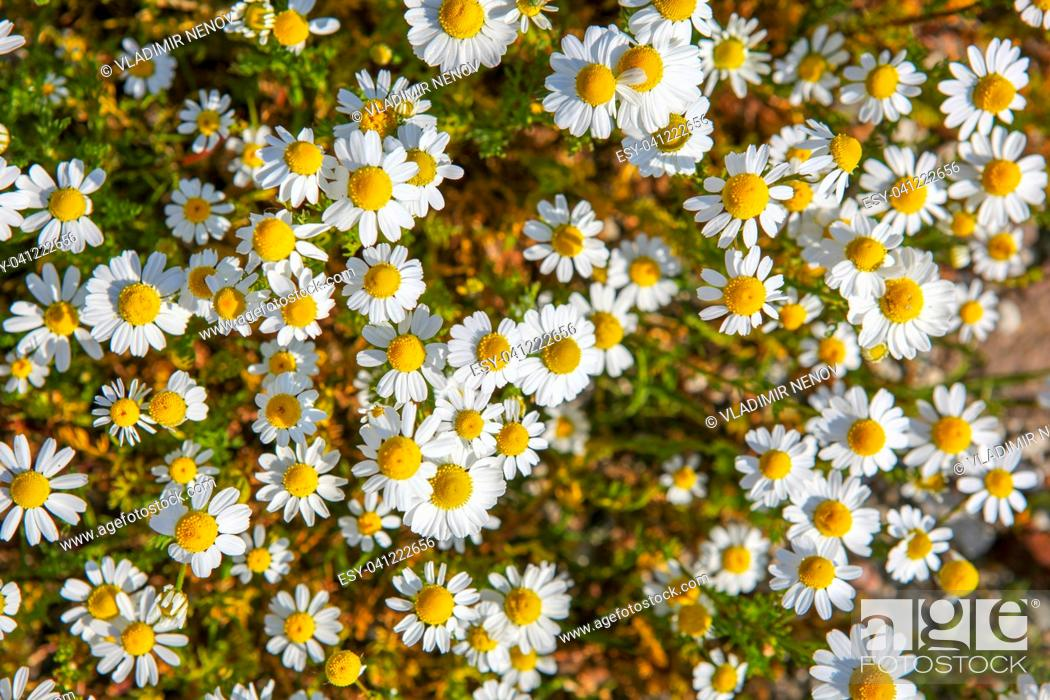Stock Photo: Chamomile is the common name for several daisy-like plants of the family Asteraceae.