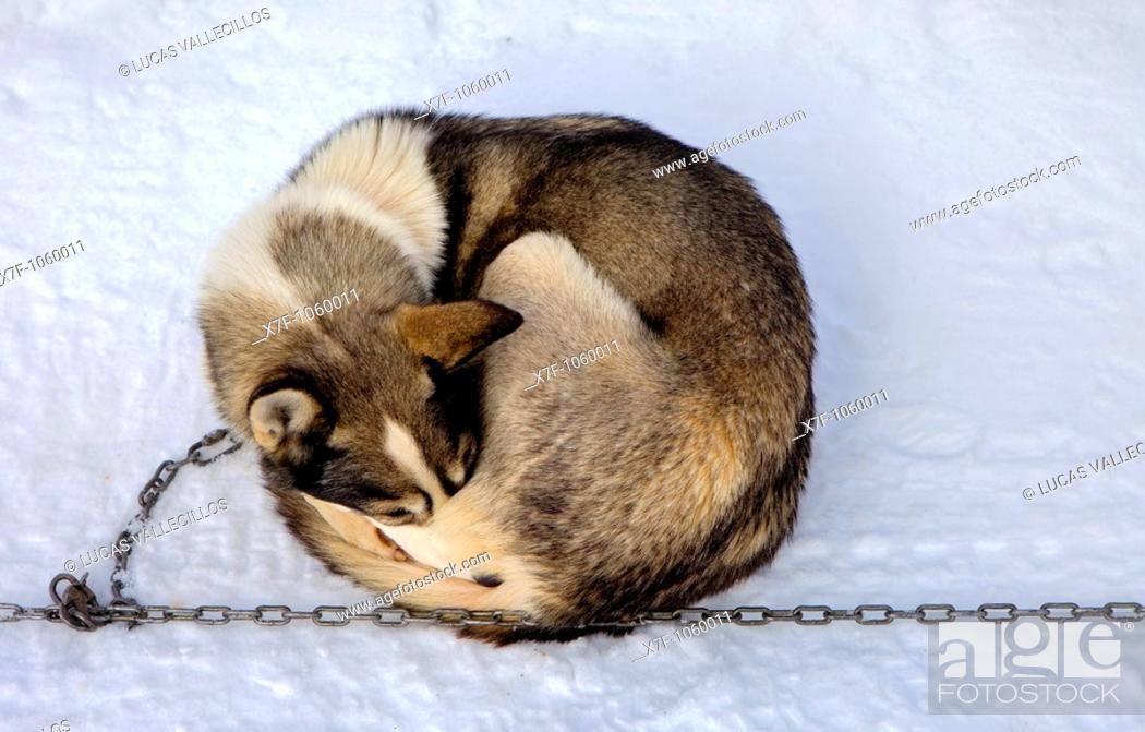 Stock Photo: Pirena  Sled dog race in the Pyrenees going through Spain, Andorra and France  Baqueira Beret  Lleida Province  Catalonia  Spain.