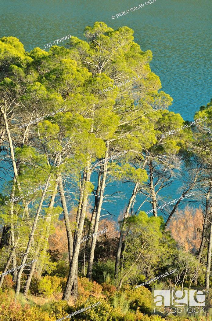 Stock Photo: Aleppo pine Pinus halepensis in the Natural Park of Sierras de Cazorla, Segura y las Villas.