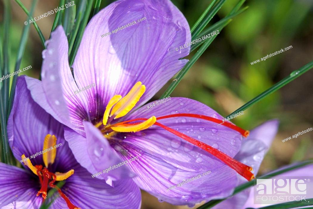 Stock Photo: CROCUS SATIVUS, flower of the saffron with water drops, Andalucia, Spain.