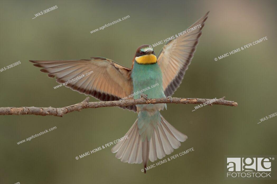 Imagen: European bee-eater landing on a branch in the Garrotxa, Catalonia, Spain.