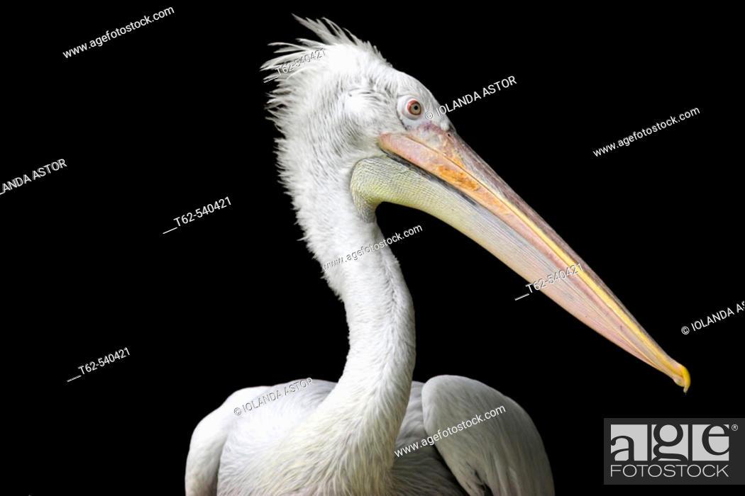 Stock Photo: Dalmatian Pelican (Pelecanus crispus).