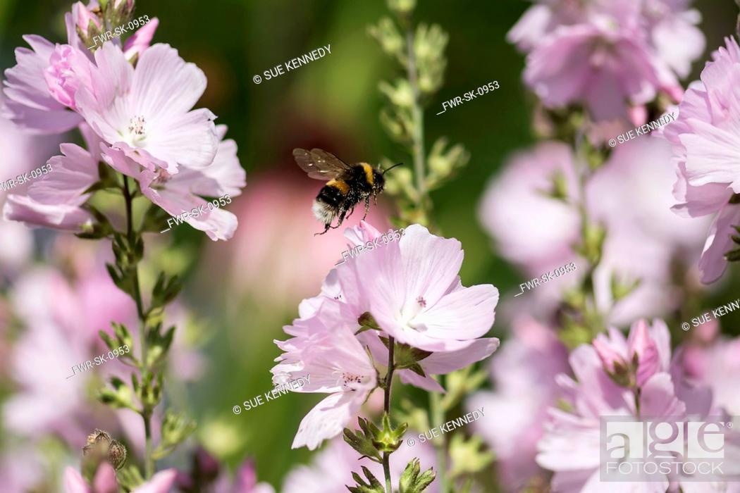 Imagen: Prairie mallow, Sidalcea malviflora, White-tailed Bumble bee, Bombus lucorum, flying to pollinate pink flowers.